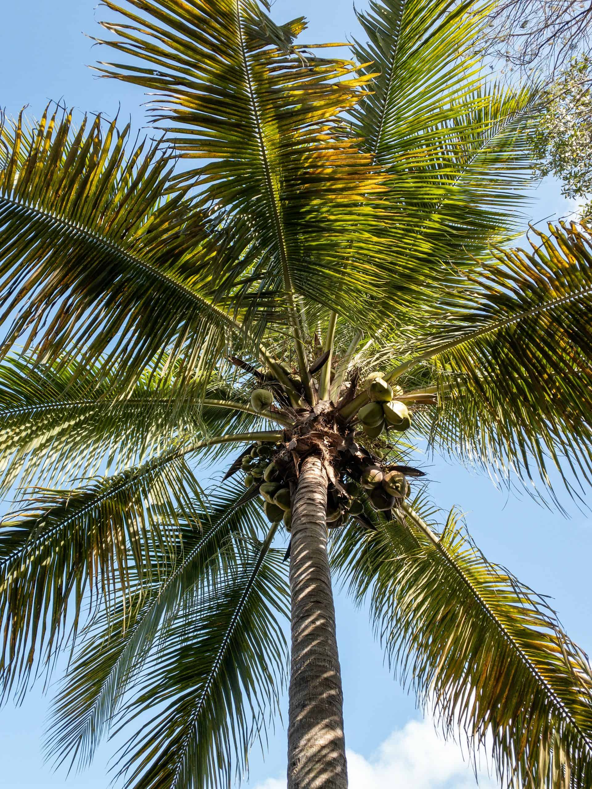 Why is a believer like a palm tree?