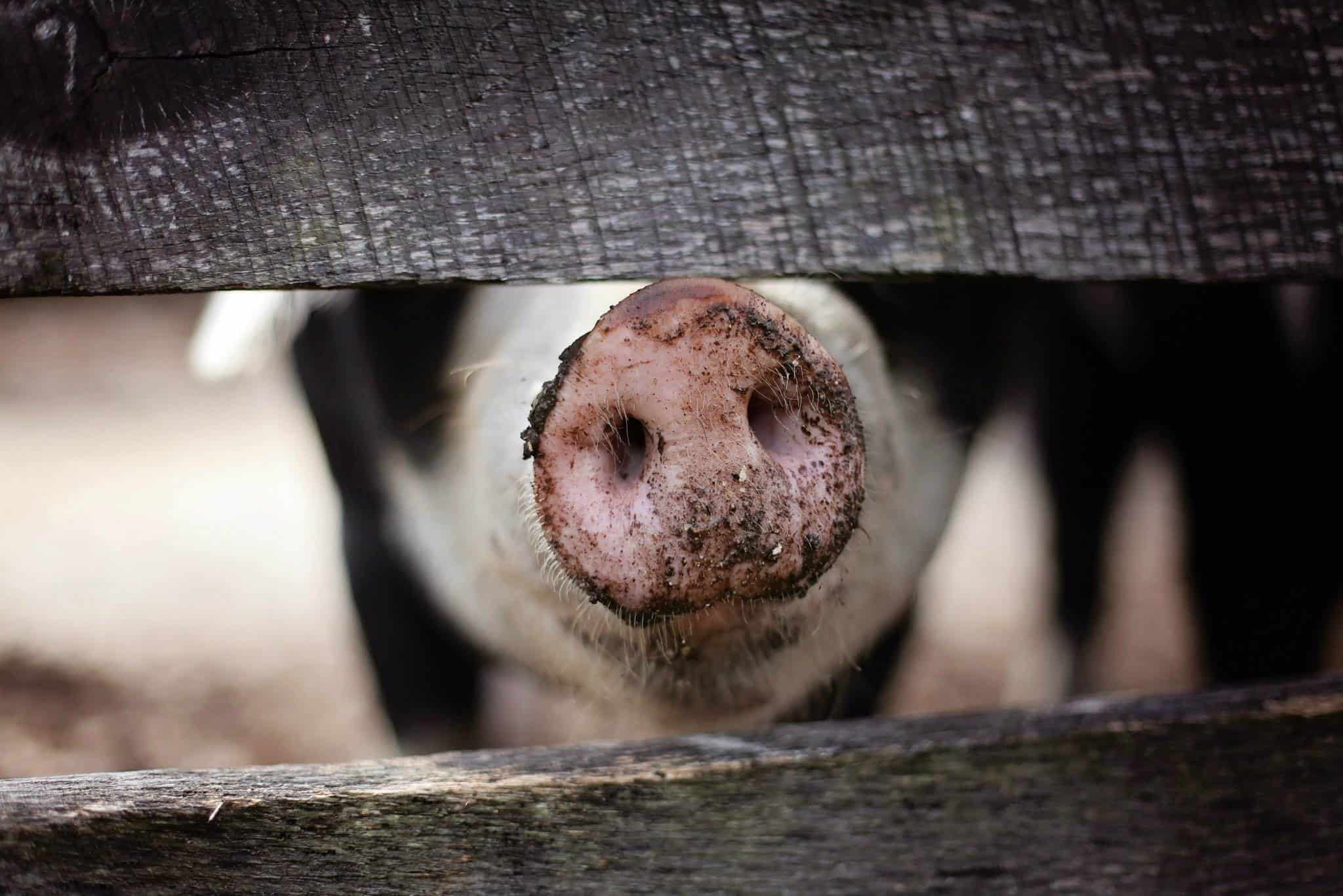 why don't muslims eat pork